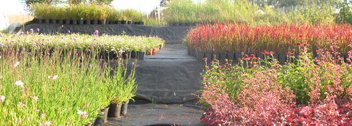 P pini re le bioley 1041 poliez pittet vente de for Catalogue plantes vivaces